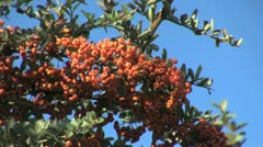 Chile pyracantha red berries Stock Footage
