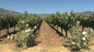 Chile Santa Cruz vineyard with roses Stock Footage