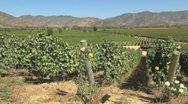 Chile Santa Cruz vineyards with roses Stock Footage