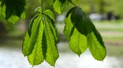 Wind blown Leaves (Horse Chestnut) 4 Stock Footage