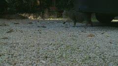 Camera follows male cat (Killah) Stock Footage