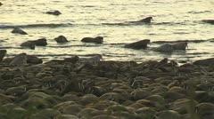 Walrus come ashore Stock Footage