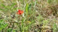 Small flower, poppy, close up in the wood HD Footage