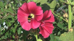 Chile hollyhock and bee Stock Footage