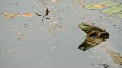 Bullfrog Stock Footage