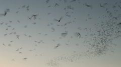 Bat Swarm Sky Stock Footage