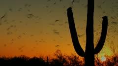 Bats Fly Arizona Sunset Stock Footage