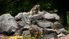 Two Marmots Stock Footage