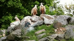 Vultures group Stock Footage