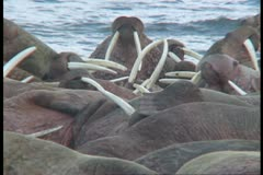 walrus looking for a spot medium - stock footage