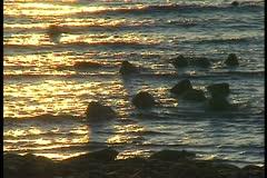 walrus on beach in water sunset - stock footage
