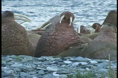 Walrus fall asleep tight to wide Stock Footage