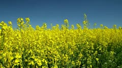 Moving into a rapeseed field - stock footage