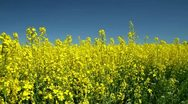 Moving into a rapeseed field Stock Footage