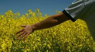 Hand in a rapeseed field Stock Footage