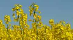 Rapeseed field, close-up - stock footage