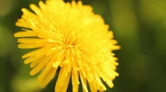 Dandelion close up Stock Footage
