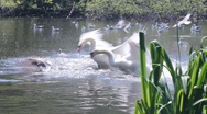 Couple of swans fighting against some seagulls Stock Footage