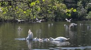 Couple of swans swimming in a pond with their cygnets, with seagulls flying Stock Footage
