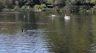 Ducks and swans swimming in a pond Stock Footage