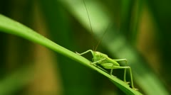 Common Green Grasshopper (Omocestus Viridulus) Stock Footage