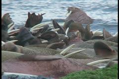 restless walrus sleepers 2 - stock footage