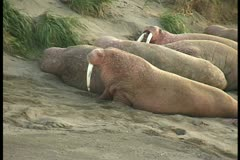 one walrus crawls on beach - stock footage