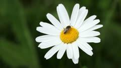 Honey bee on daisy flower Stock Footage