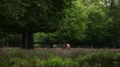 Beautiful Deer Stock Footage