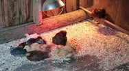 Stock Video Footage of Young chickens roosting together to keep warm P HD 0219