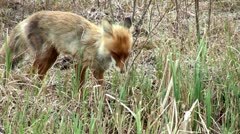 Wild red fox on the watering Stock Footage