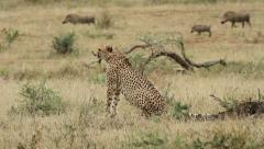 Cheetah looking at warthogs Stock Footage