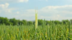 The cereals in the field. Professional lighting!!! Stock Footage