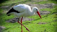 Stork walking in grass Stock Footage