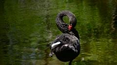 Black swan Stock Footage
