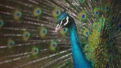 Peacock male Stock Footage