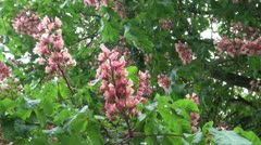Pink Blossom Horse Chestnut Tree Stock Footage