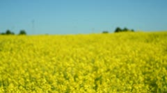 Boy and girl in a yellow canola field 32 Stock Footage