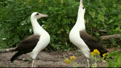 Dancing albatrosses Stock Footage
