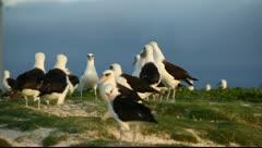 Albatrosses Stock Footage