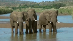 Three elephants standing in a river while fanning themselves and drinking Stock Footage