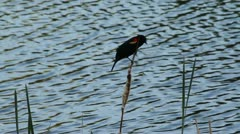 Red winged blackbird sits on reed and flies away Stock Footage