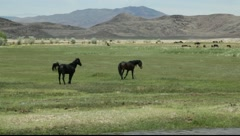 923 wild mustangs in green meadow confrontation Stock Footage