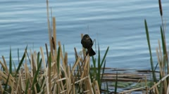 Red winged blackbird female sits on reed Stock Footage