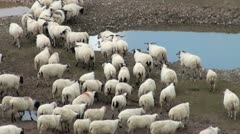 Herds of sheep on Chinese highlands Stock Footage