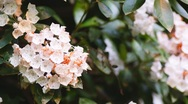 Stock Video Footage of Mountain Laurel Georgia