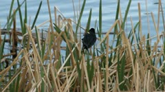Red winged blackbird perched on a reed Stock Footage