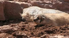 Badgers sleep, one looks up and yawns Stock Footage