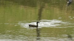 Blue winged teal swims while female teal takes off Stock Footage