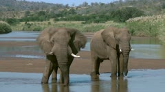 Two elephants stand in a river while fanning themselves and drinking Stock Footage